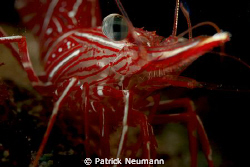 dancing cleaner shrimp, no crop, taken with Canon 400D/Hu... by Patrick Neumann